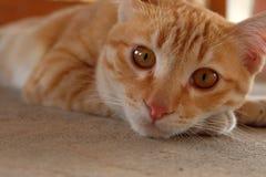 Cierre solo de la cara del gato de la sensación para arriba Foto de archivo libre de regalías