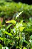 Cierre srilanqués de la hoja de té para arriba fotografía de archivo