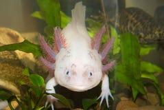 Cierre subacuático del retrato del Axolotl para arriba en un acuario Pescados que caminan mexicanos Mexicanum del Ambystoma foto de archivo
