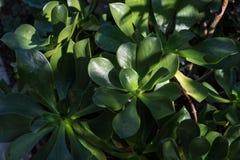 Cierre suculento de la planta del Aeonium encima de la hoja verde Foto de archivo libre de regalías