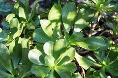 Cierre suculento de la planta del Aeonium encima de la hoja verde Fotografía de archivo
