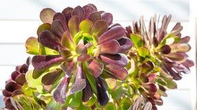Cierre suculento de la planta encima de la visión, día soleado, primavera foto de archivo libre de regalías
