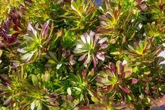 Cierre suculento de la planta encima de la visión, día soleado, primavera imagen de archivo libre de regalías