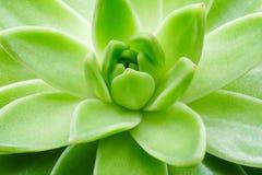 Cierre suculento verde de la macro de la planta encima del fondo Fotografía de archivo libre de regalías