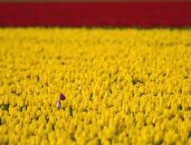 Cierre tan los tulipanes tan solos Fotografía de archivo libre de regalías