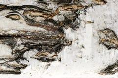 Cierre, textura y fondo de la corteza de abedul Foto de archivo libre de regalías