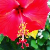 Cierre tropical de la flor del hibisco para arriba Imagen de archivo libre de regalías