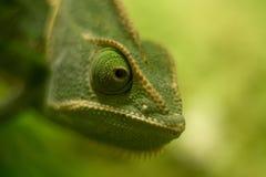 Cierre velado del camaleón para arriba, dof bajo foto de archivo