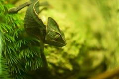 Cierre velado del camaleón para arriba, dof bajo Camaleones o chamaeleons foto de archivo libre de regalías