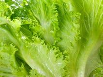 Cierre verde cosechado fresco de la lechuga para arriba Fotos de archivo libres de regalías
