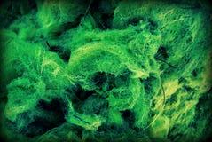 Cierre verde de la alga marina para arriba Fotos de archivo