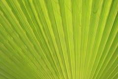 Cierre verde de la hoja de palma para arriba Fotografía de archivo