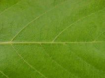 Cierre verde de la hoja del árbol para arriba foto de archivo