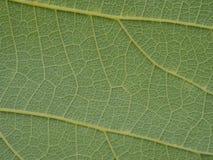 Cierre verde de la hoja del árbol para arriba imagen de archivo