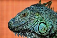 Cierre verde de la iguana para arriba Foto de archivo