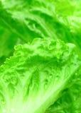 Cierre verde de la lechuga para arriba Fotografía de archivo libre de regalías