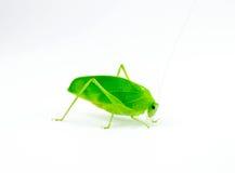 Cierre verde de la vista lateral del saltamontes para arriba Imagen de archivo libre de regalías