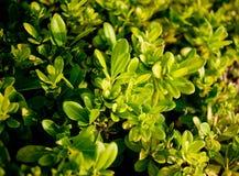 Cierre verde del arbusto para arriba Fotos de archivo libres de regalías