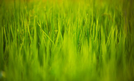Cierre verde del arroz para arriba Foto de archivo