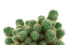 Cierre verde del cactus para arriba Fotos de archivo