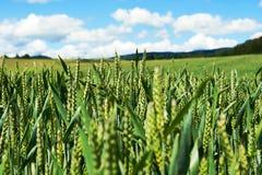Cierre verde del campo de maíz Fotos de archivo