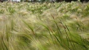 Cierre verde del campo para arriba de la cebada que sopla en el viento almacen de video