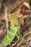 Cierre del bosque del extremo verde del lagarto o de Calotes Calotes para arriba en Sri Lanka Imagen de archivo
