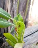 Cierre verde del gusano de la mariposa para arriba Foto de archivo