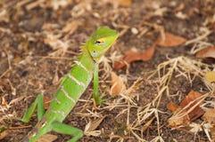 Cierre verde del lagarto del bosque para arriba en Sri Lanka Imagenes de archivo