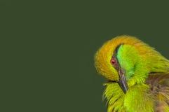 Cierre verde del pájaro del comedor de abeja para arriba Imagen de archivo