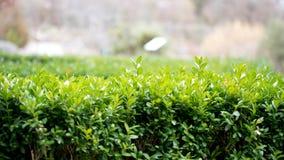 Cierre verde del seto para arriba Fotos de archivo