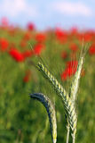 Cierre verde del trigo para arriba Imagen de archivo libre de regalías