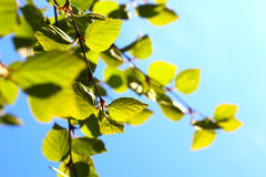 Follaje de la primavera del abedul Foto de archivo libre de regalías