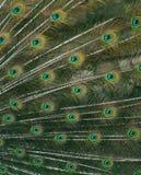 Cierre verde lindo de la pluma del pavo real para arriba Fotos de archivo libres de regalías