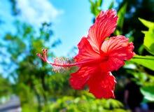 Cierre vibrante soleado de la flor del hibisco para arriba Foto de archivo libre de regalías