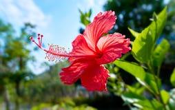 Cierre vibrante soleado de la flor del hibisco para arriba Imagen de archivo libre de regalías