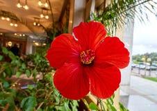 Cierre vibrante soleado de la flor del hibisco para arriba Imágenes de archivo libres de regalías