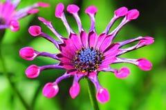 Cierre violeta de la margarita para arriba Foto de archivo