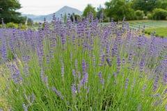 Cierre violeta del flor de la lavanda de la plena floración para arriba Fotos de archivo libres de regalías