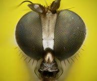 Cierre zanquilargo de la mosca encima del retrato Imágenes de archivo libres de regalías