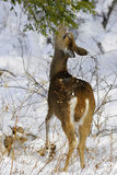 Ciervos 1b Foto de archivo