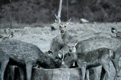 Ciervos Fotografía de archivo