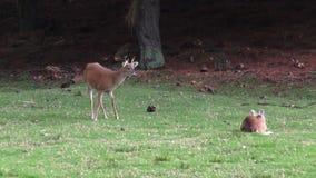 Ciervos, alces, alces, mamíferos, animales del parque zoológico, fauna almacen de video