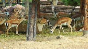 Ciervos animales del mamífero en parque zoológico almacen de video