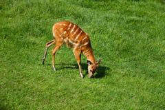Ciervos animales que comen la hierba Fotografía de archivo