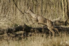 Ciervos asustadizos que saltan sobre un árbol Imagen de archivo