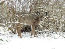 Ciervos atados blanco joven que miran a escondidas en un día hivernal Imagen de archivo