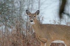 ciervos Blanco-atados - Ontario, Canad? imagen de archivo libre de regalías