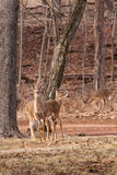 ciervos Blanco-atados que pastan cerca del bosque Imagen de archivo