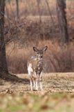 ciervos Blanco-atados que pastan cerca del bosque Imagen de archivo libre de regalías